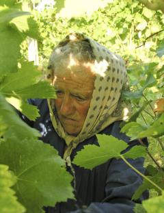 Harvesting verdicchio