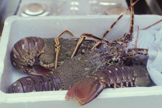 Krajančić lobster