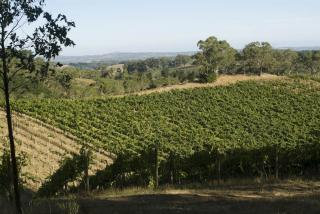 Mike's vineyard in the Hills